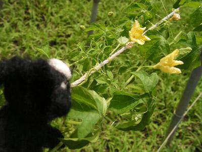 オキナワスズメウリの花